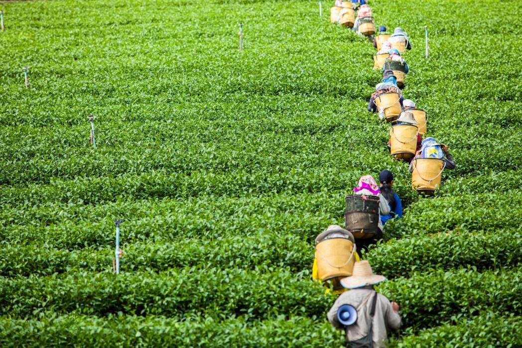 Tea is one of Sri Lanka's biggest commodities